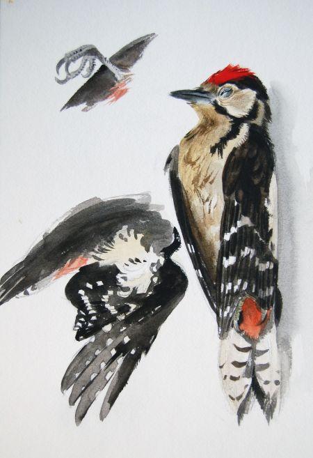 Större hackspett, studium av avliden fågel 80tal